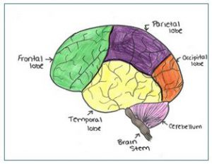 the-brain-and-its-functions